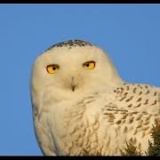 Snowy Owls: 2013 - 2014 Irruption!