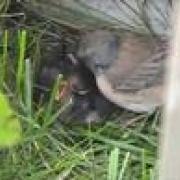 Dark-Eyed Junco Bird Nest Dairy June 2nd amazing!!!