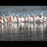 American White Pelican Pelican feeding group at Swan Lake State Park - Carroll, Iowa