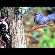 Downy Woodpecker and Gray Catbird