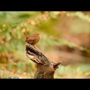 Birds of the Pacific Northwest: Pacific Wren (#2) 1080p