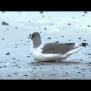 Black-legged kittiwake (Rissa tridactyla) on a beach