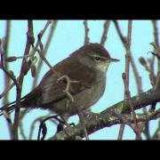 cetti's warbler at radipole