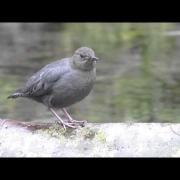 "American Dipper #3 - "" Singing In The Rain """