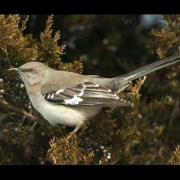 Mockingbird Song Serenade