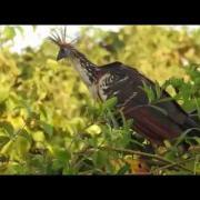 Cigana / Jacu Cigano (Opisthocomus hoazin) - Hoatzin