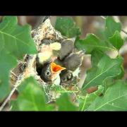 Black-capped Vireo nests at Balcones Canyonlands - Texas Parks and Wildlife [Official]