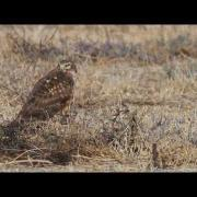 Northern Harrier - Marsh Hawk