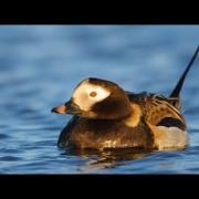 Voices: Long-tailed Duck