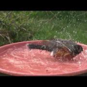 Songbirds splashing in a bird bath
