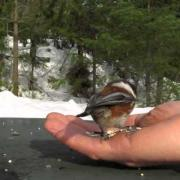 Black-Capped Chickadee & Chestnut-Backed Chickadee