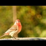 BIRDS of the Puget Sound Region - House Finches in Amazing HD