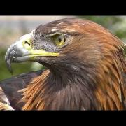 Golden Eagle - Bird of Prey - Spectacular Close Up of Natures Hunting Machine