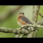 Bluebird Impressions