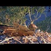 Turkey Vulture Explores Savannah Nest - Nov. 8, 2016