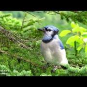 Blue Jay Calls - The Jay call followed by short soft sounds