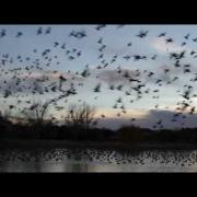 Thousands of Canadian Geese - Flying Away and Sounds