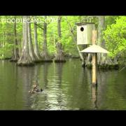 Hooded Merganser and Wood Duck babies skydive.  5-8-14