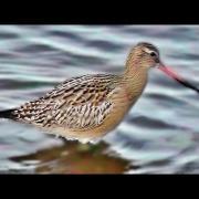 Bar-tailed Godwit - Barge Rousse