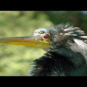 Anhinga Close Up Video FYV 1080 HD
