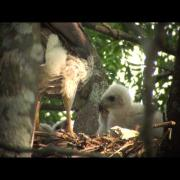 Cooper's Hawk (feeding juveniles - 'waaa' call & delivery of food to nest)