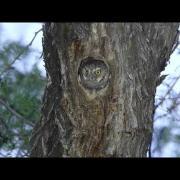 Elf Owl (Micrathene whitneyi) pair