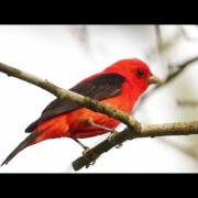 Scarlet Tanager—Flame of Spring