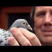 How do homing pigeons get home? - Extraordinary Animals - Series 2 - Earth