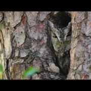 Through the Lens: Eastern Screech-Owl Camouflage