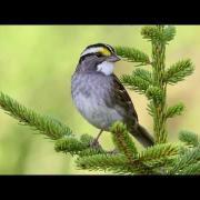 White-throated Sparrow II