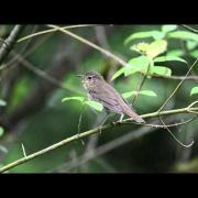 The Swainson's Thrush