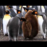Activity Within the King Penguin Colony