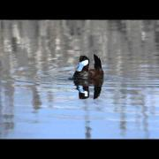 Ruddy Duck display