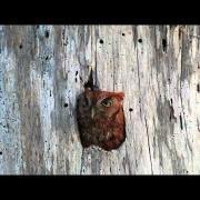Screech Owl Calling 2
