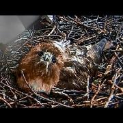 Five Minutes in the Life of a Red-tailed Hawk on a Nest