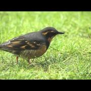 DSLR Video: Varied Thrush