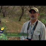 Banding the Golden-cheeked Warbler