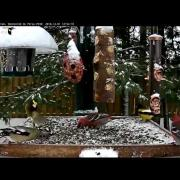 Mixed Flock of Pine and Evening Grosbeaks Forage Amidst Snowfall – Dec. 1, 2016