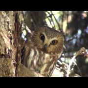 Northern Saw-Whet Owl by ktbirding.com