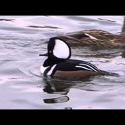 Hooded Merganser Sound