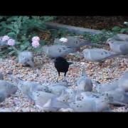 cowbird amongst the doves
