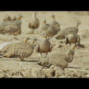 SPOTTED SANDGROUSE 1