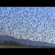 Dance of the Dunlins