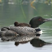 Common Loon Mother and Baby Chick