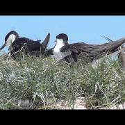 セグロアジサシ Sooty Tern.mp4