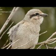 Northern Shrike Singing