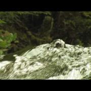 American Dipper on Haida Gwaii