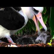 Cornell Lab Bird Cams,Laysan Albatross,Mother feeding her baby amazing,1/27/14