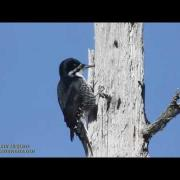 Black-backed Woodpeckers in Maine