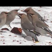 Bohemian Waxwings Eating Apples in Maine